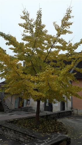 photo-village-ginko-biloba